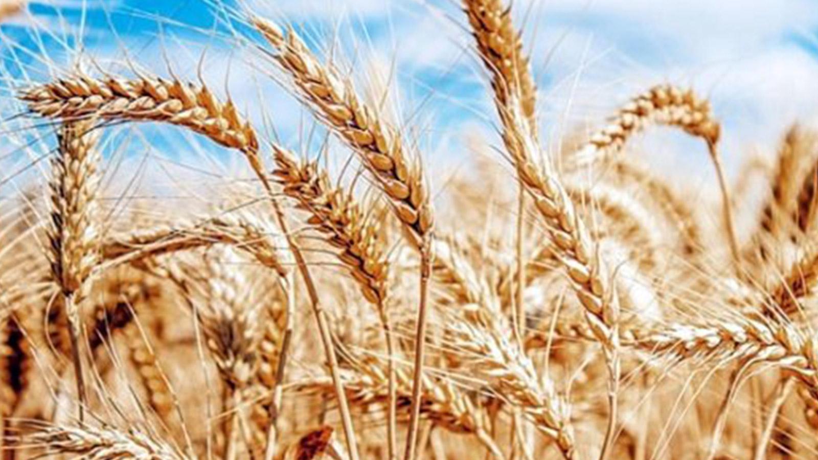 buğday nedir